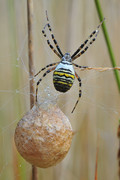 Wespspin (Argiope Br