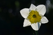 Narcis (Narcissus).